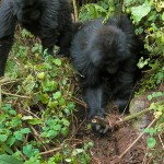 Gorilla Youngsters Dismantle Poachers' Traps