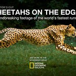 Cheetahs at 1200 fps