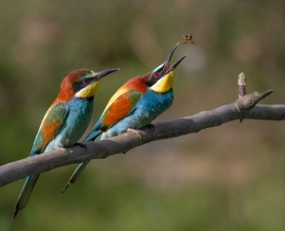 File:Pair of Merops apiaster feeding.jpg - Wikimedia Commons