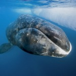 There Are Whales Alive Today Who Were Born Before Moby Dick Was Written