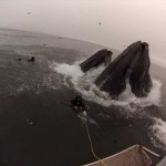 Whales Almost (Accidentally) Eat Divers