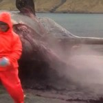 Dead Whale Explodes [gross]